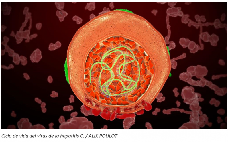 Ciclo de vida del virus de la hepatitis C.